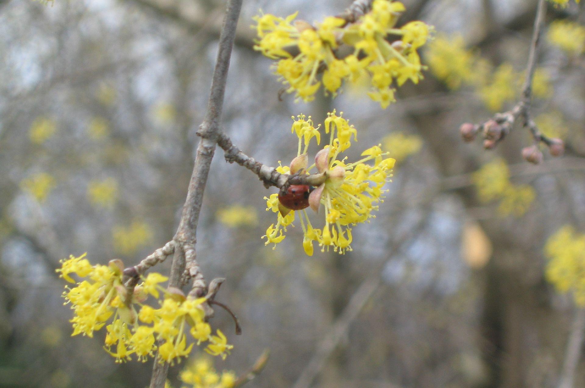 flowering cornel tree