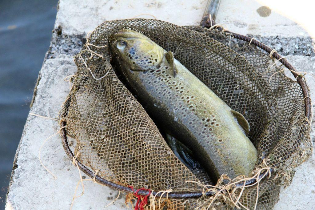 trout Tamare