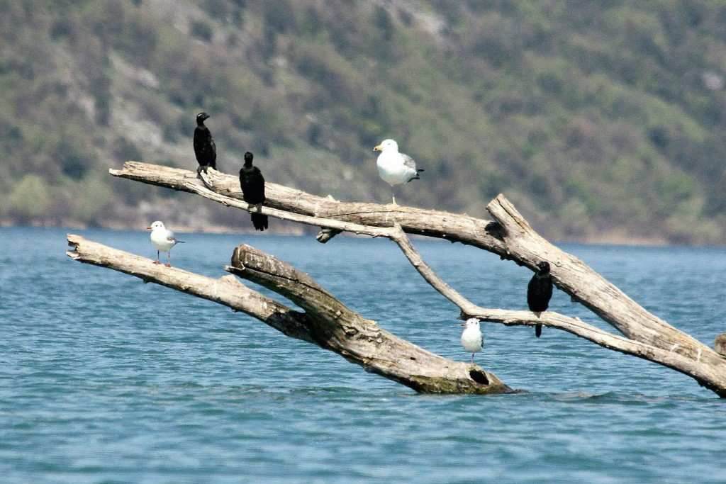 Skadar Lake3 birds