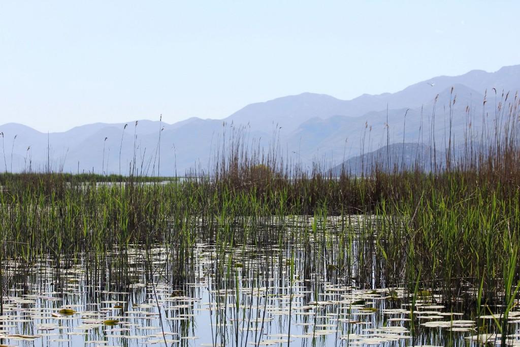 Skadar Lake4 reed