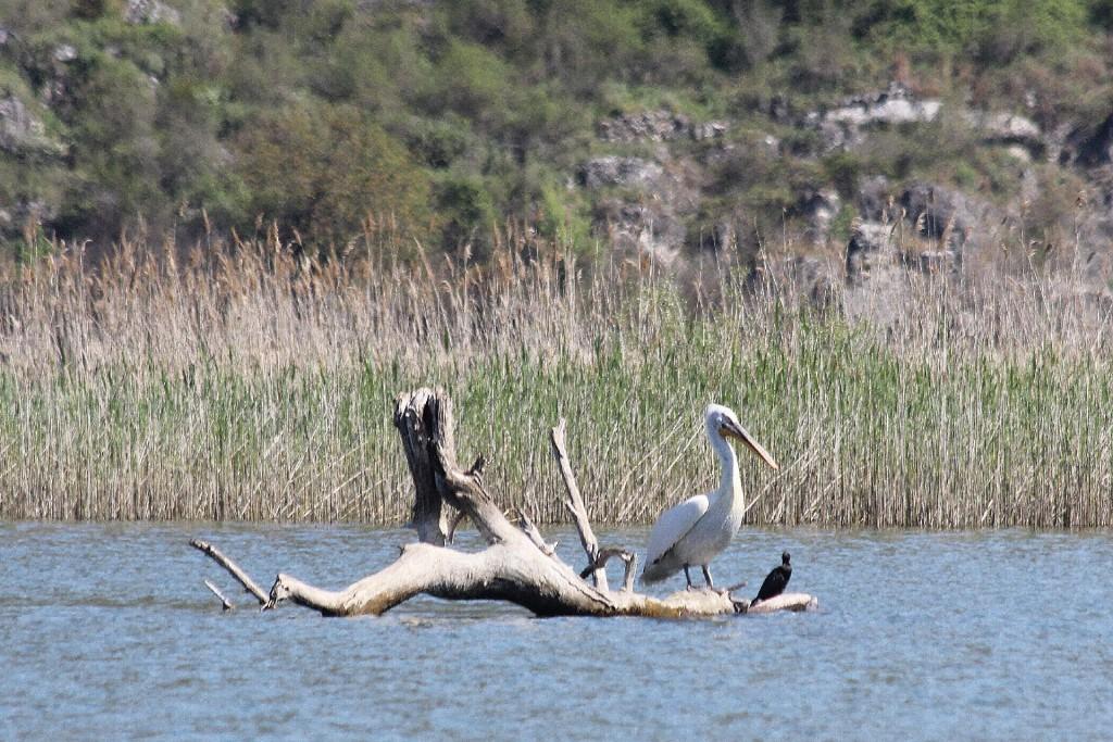 Skadar Lake5 pelican