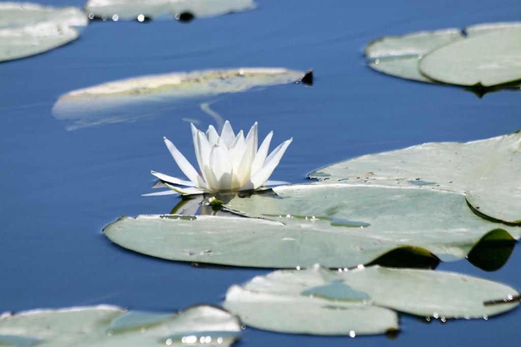 Kosmac monastery2 water lily