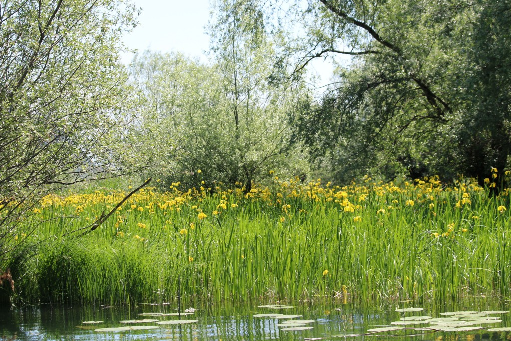 Kosmac monastery4 Karatuna yellow irises