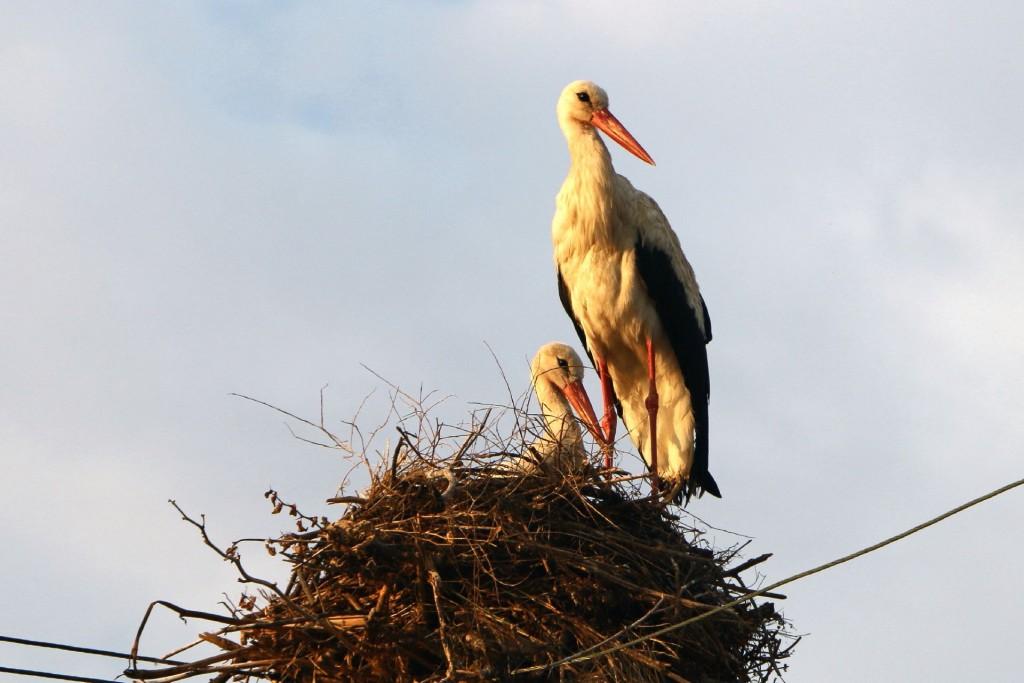 Bulgaria8 storks