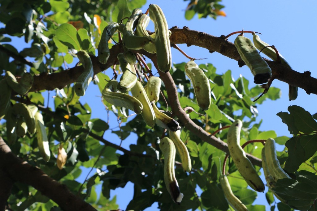 Slano3 carob tree