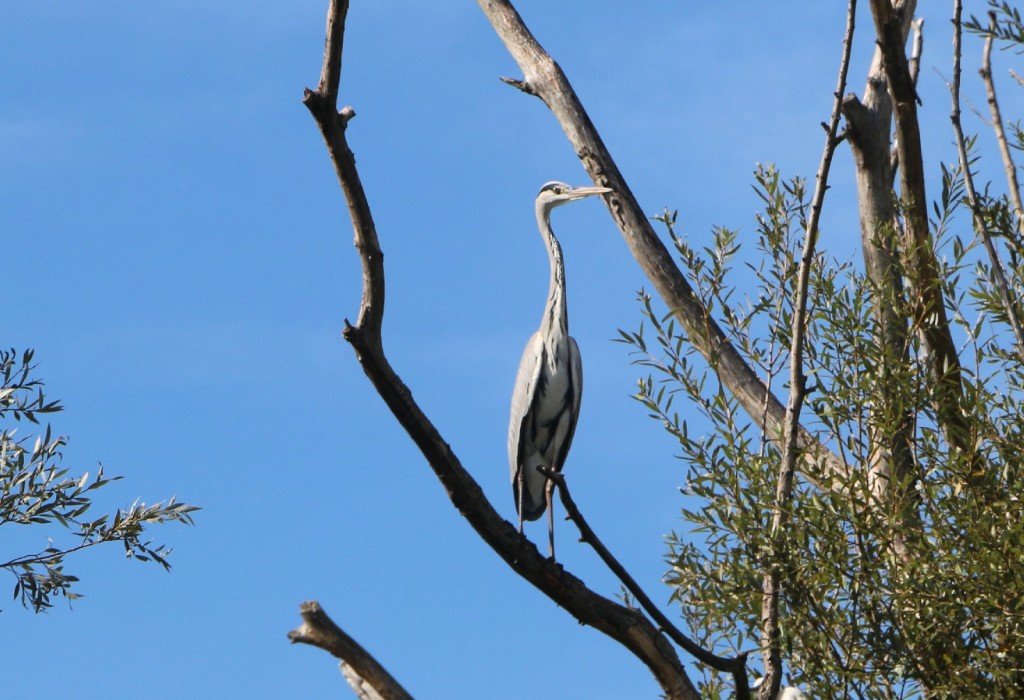 skadar lake7 grey herron