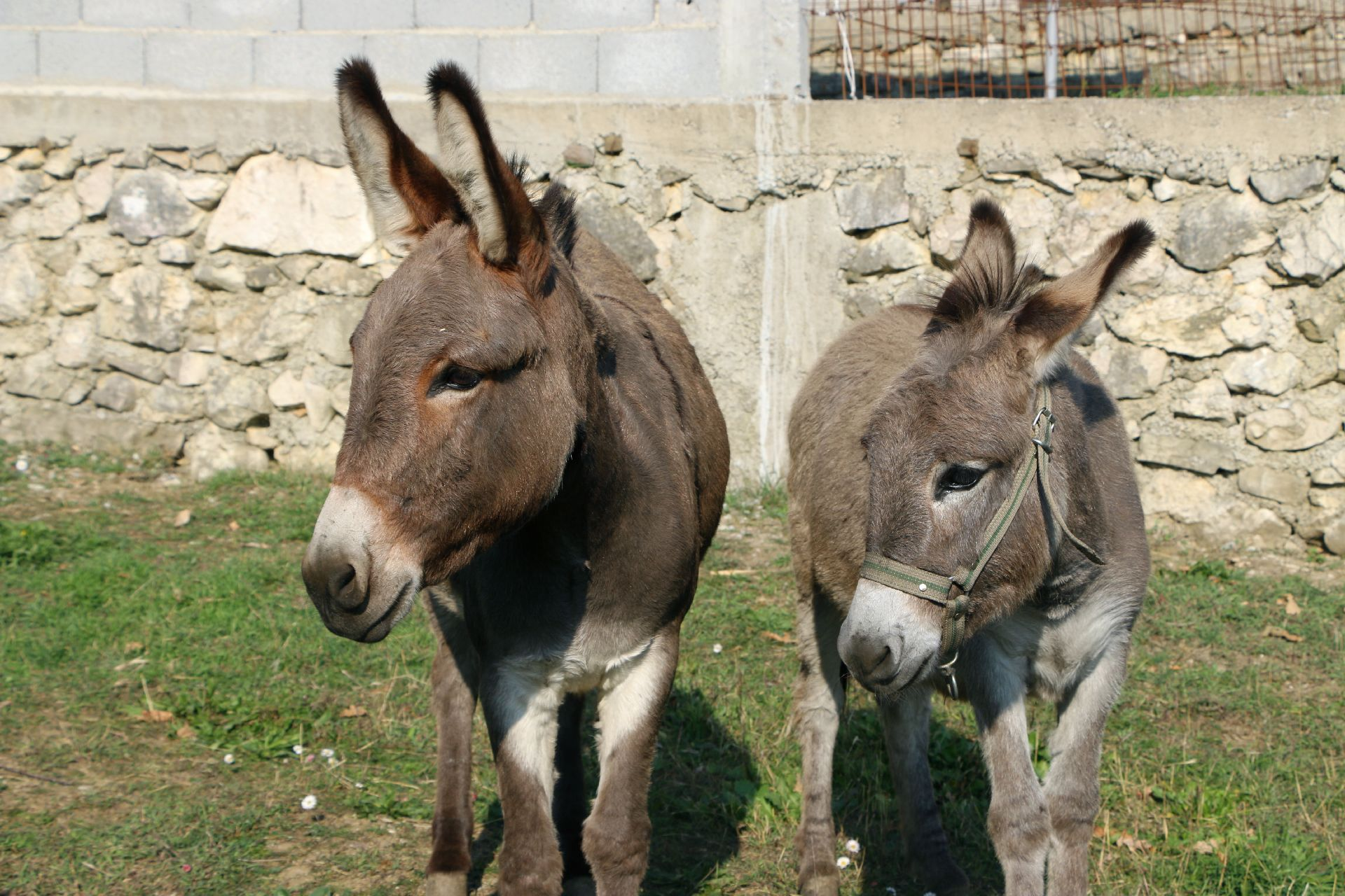 Farm donkeys - photo#12