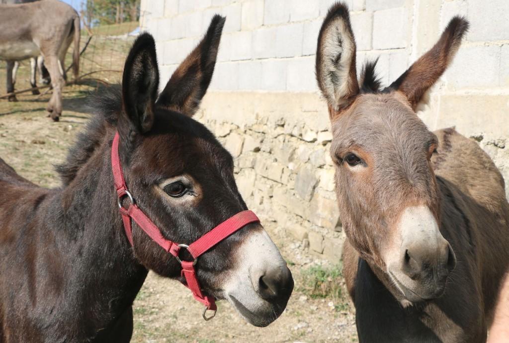 Donkey farm7 Martinici