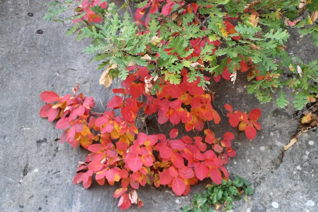 autumn7 smoketree
