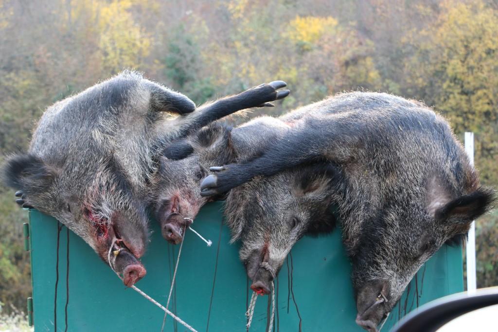 autumn8 wild boar Cetinje