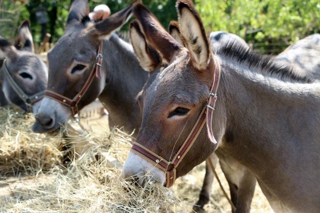 donkey farm Martinici1
