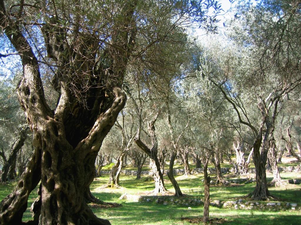 Valdanos olive grove klein