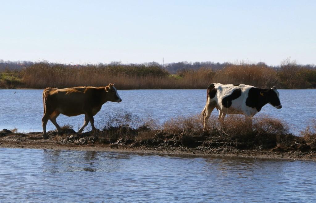 Saline Ulcinj cows