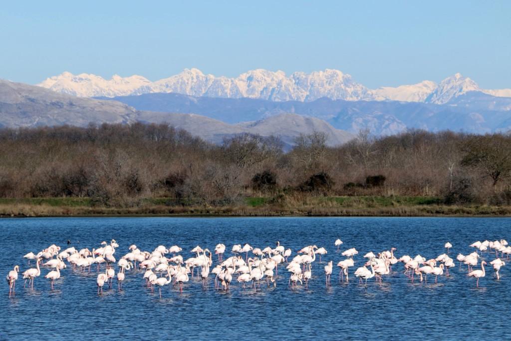 Saline Ulcinj flamingos1