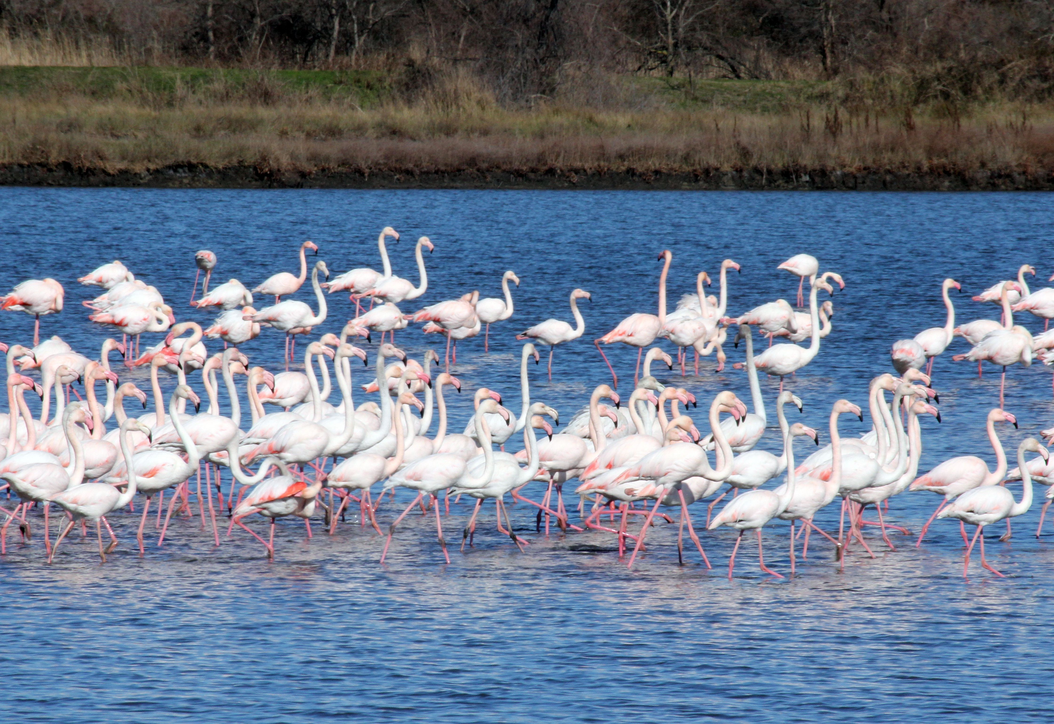 Saline Ulcinj flamingos1a