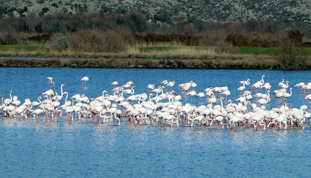 saline Ulcinj flamingos7