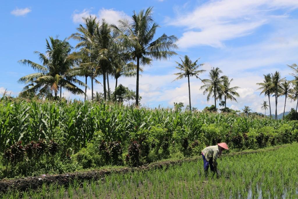 Bali4 paddy fields