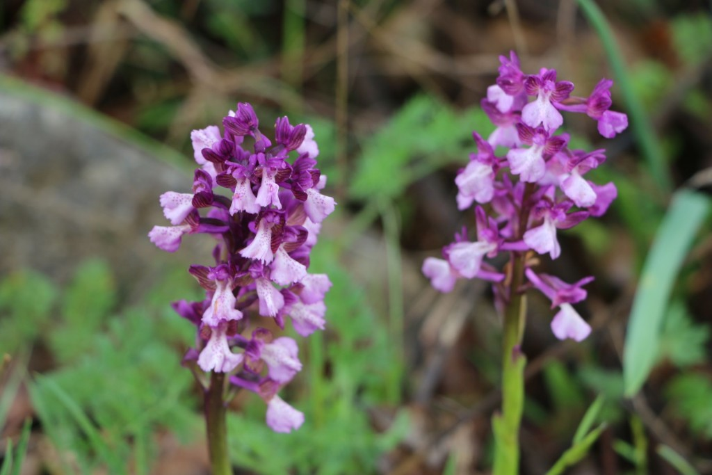 Anacamptis morio green-winged orchid