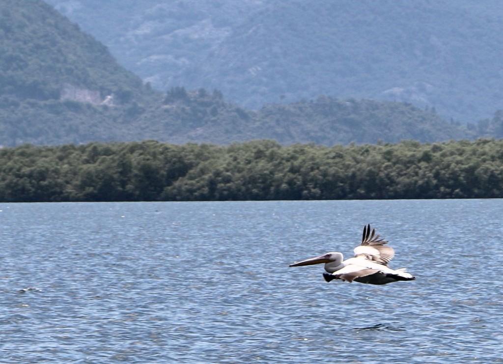 Skadar Lake10 Dalmatian pelican