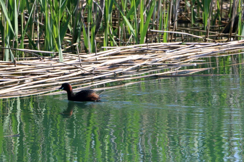 Skadar Lake2 little grebe