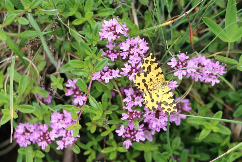 Mala Crna Gora8 butterfly