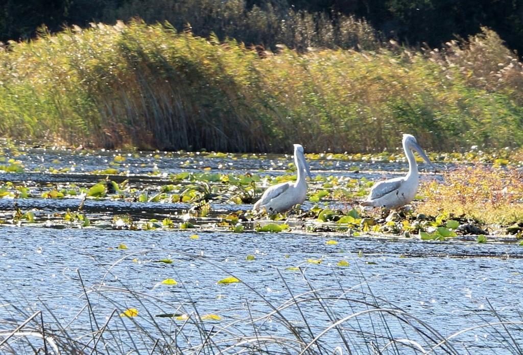 skadar-lake5-pelicans