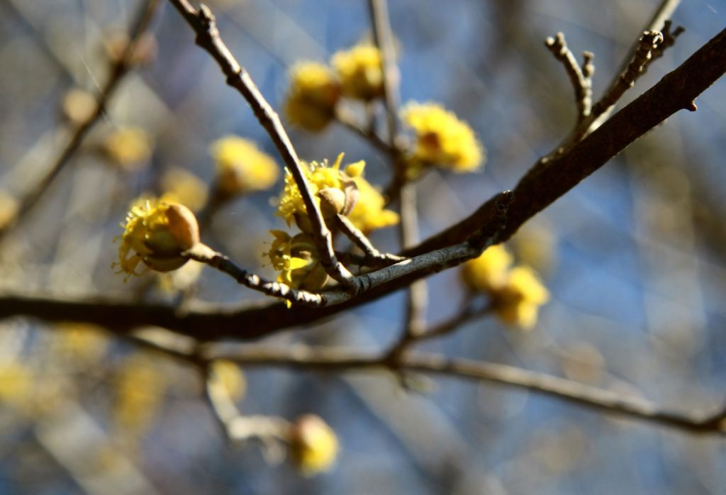 cornelian cherry blossom Bjelopavlici3