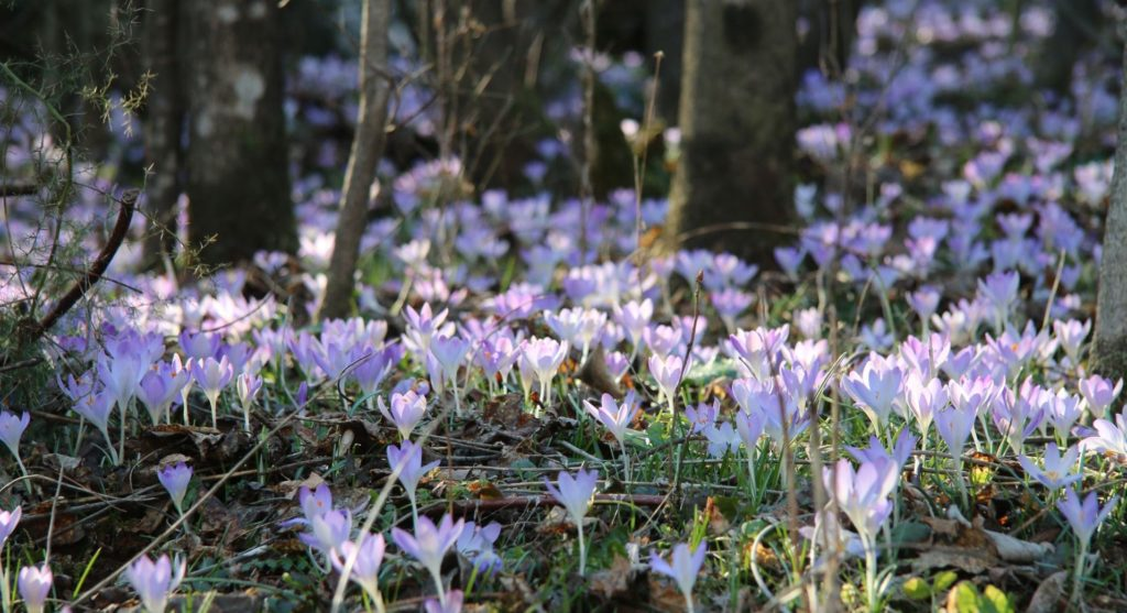 crocus fields in Bjelopavlici8
