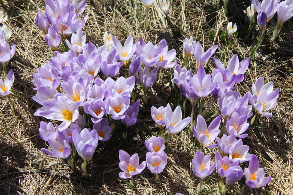 spring flowers crocus3
