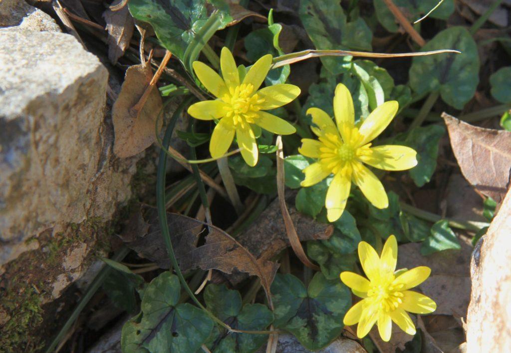 spring flowers lesser celandine7