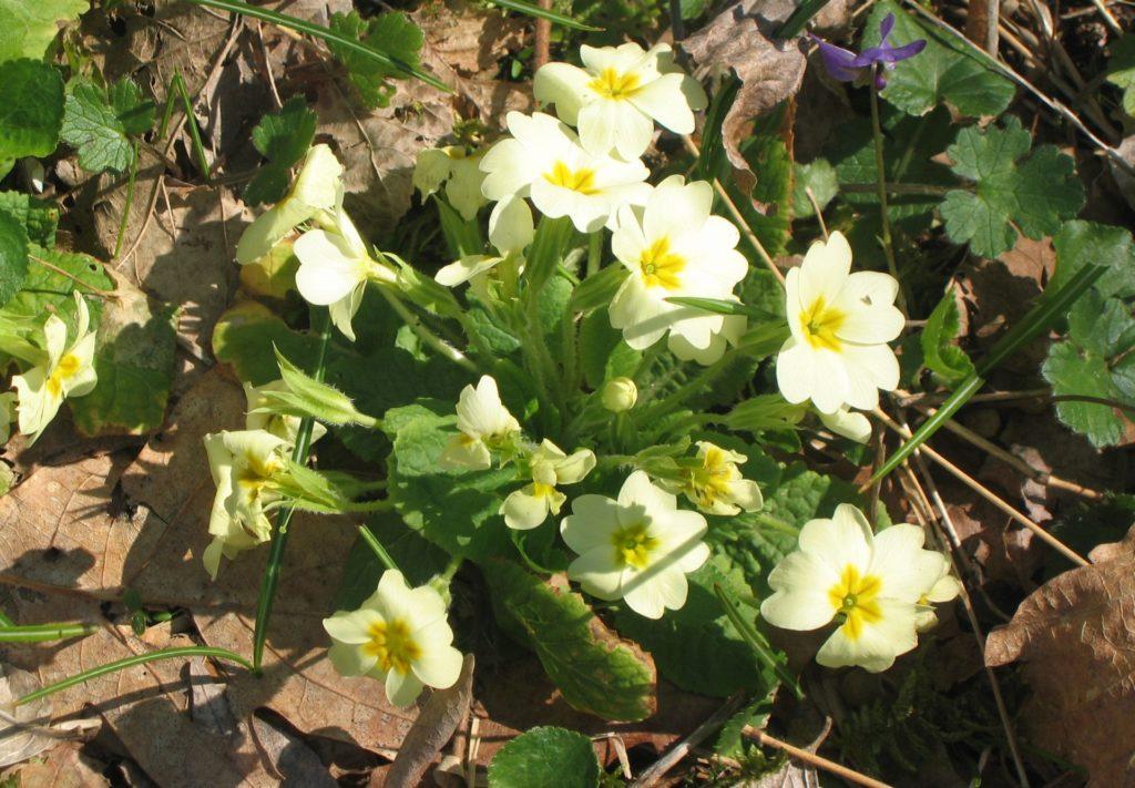 spring flowers primrose4