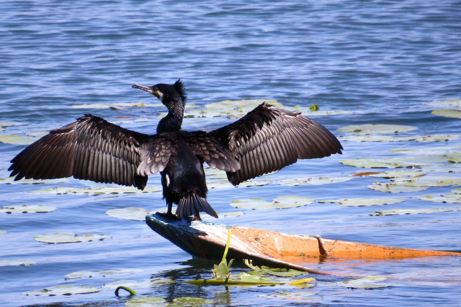 cormorant Krnjice