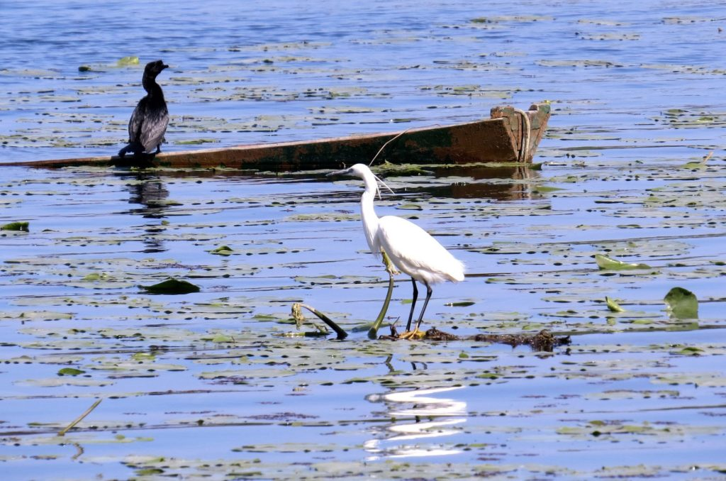 cormorant and white heron