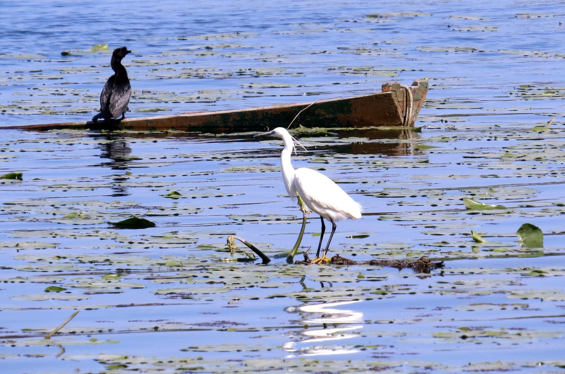 cormorant and white heron