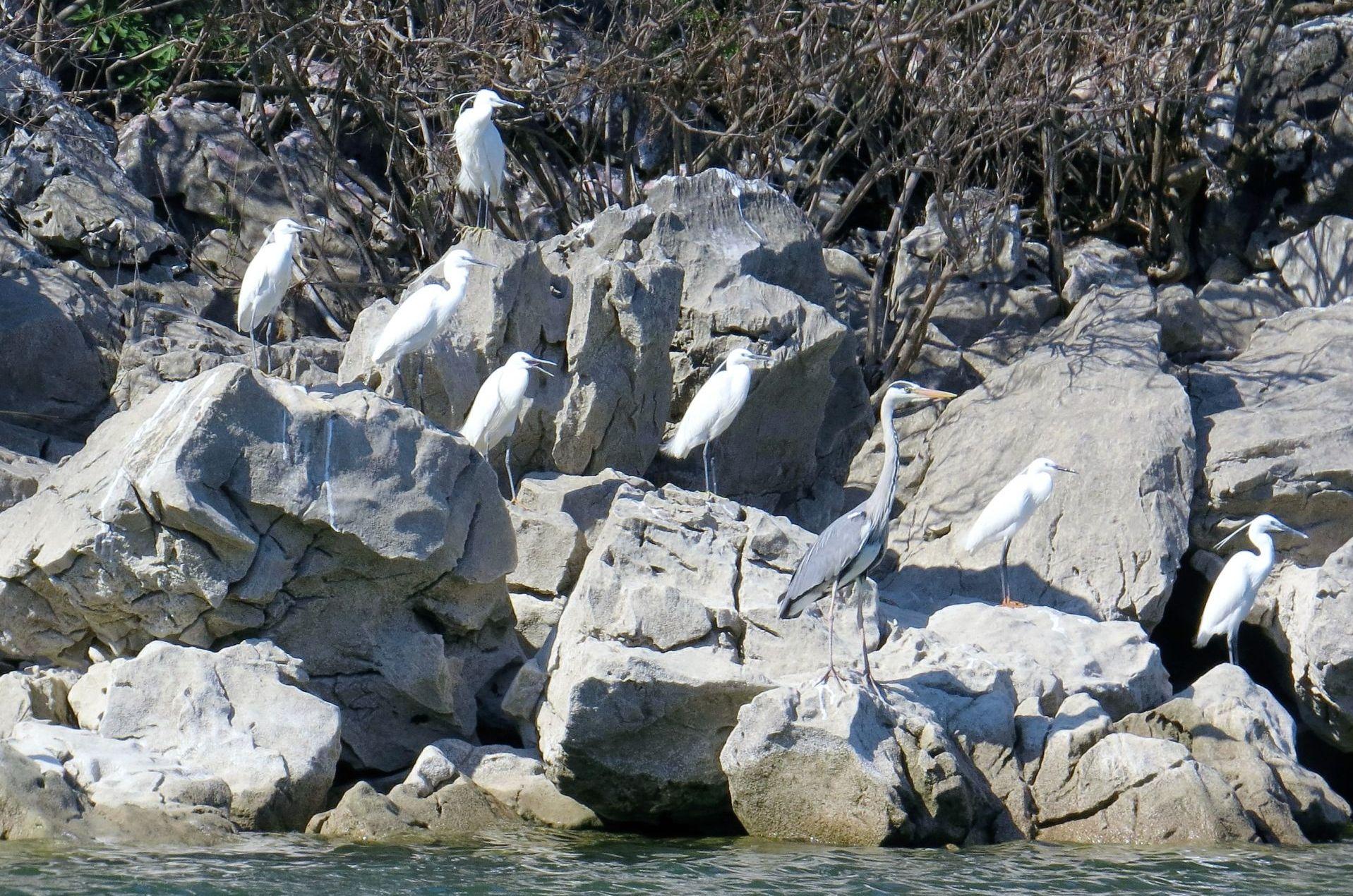 herons Skadar Lake