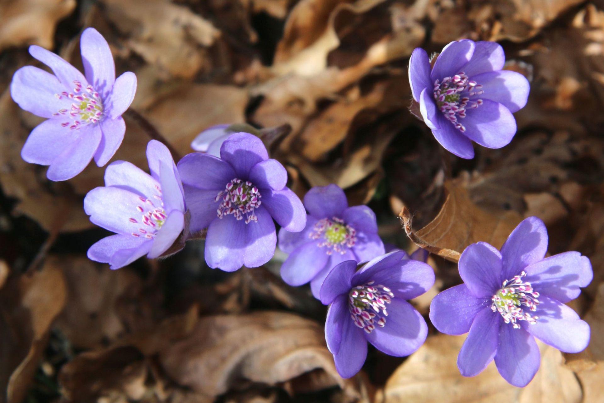 lilac wood anemone