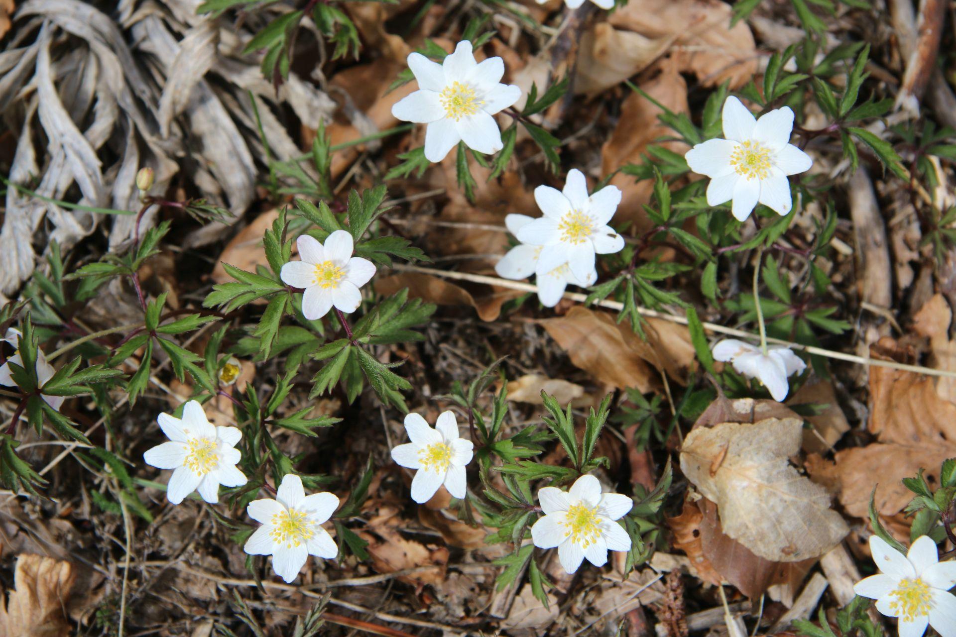 white wood anemone