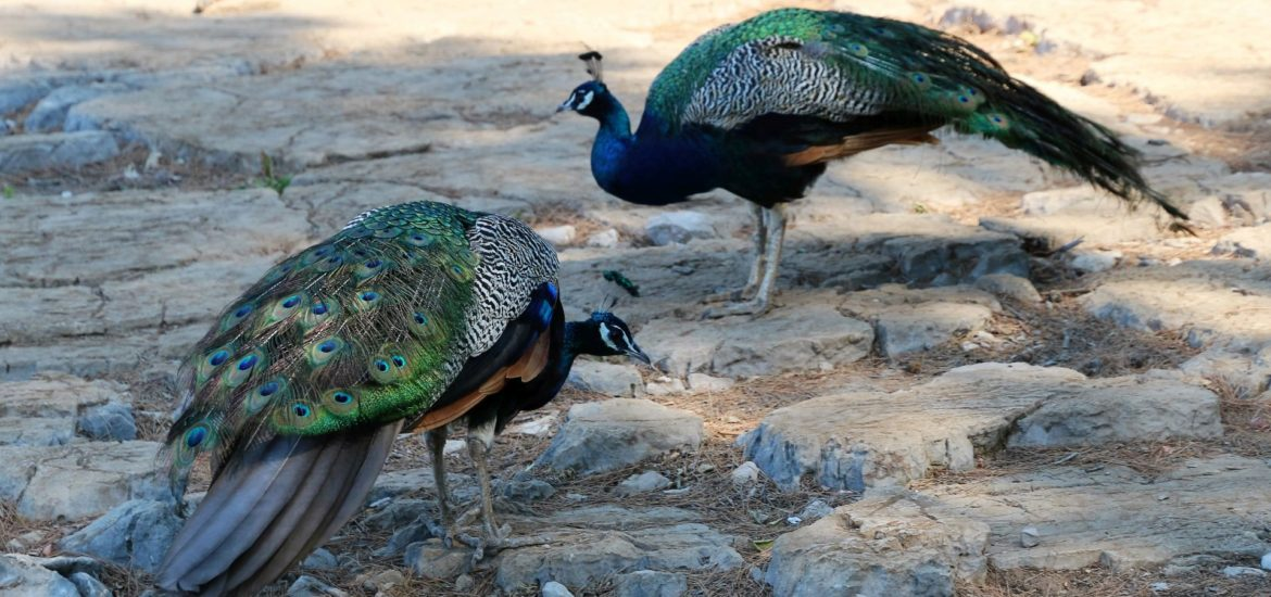 Lokrum1 peacocks