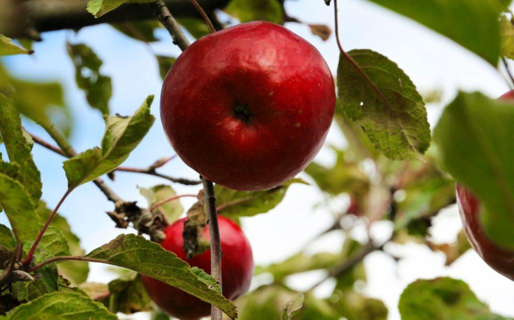 slow food15 apples