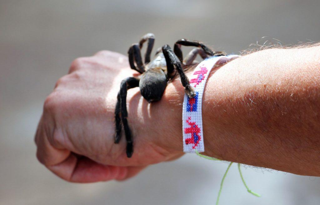 Cambodia tarantula