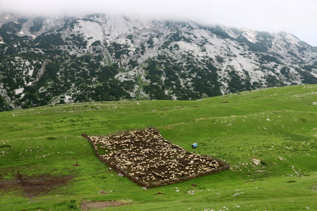 Sheep on Durmitor
