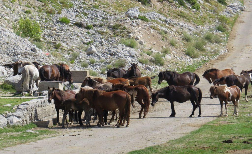 Žijovo wild horses