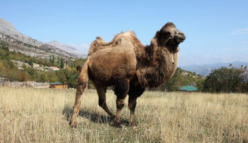 petting zoo camel